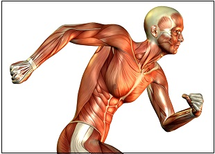 anatomy and physiology c (muscles and movement) online course, Muscles