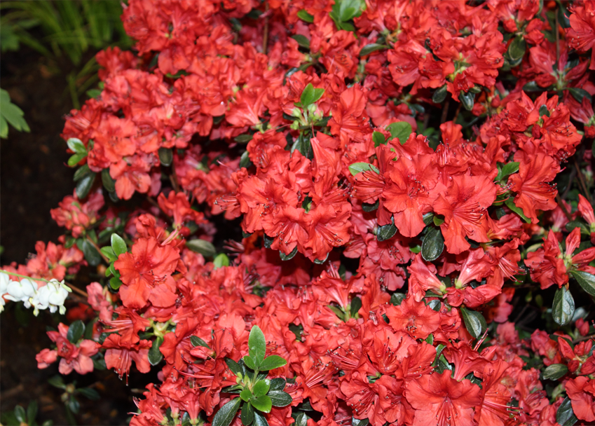 an analysis of the plant rhododendron The purpose of this study was to conduct a comprehensive analysis of antibacterial activities of plants from the genus rhododendron, which has the highest species richness among all woody plant genera.