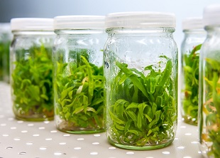 application of plant tissue culture in agriculture horticulture and industry