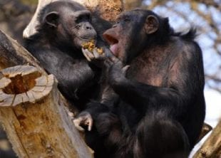 Monkeys are a great animal to study in our animal behaviour course online.