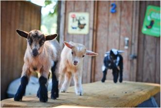 Goat Husbandry Online Course