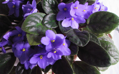 African Violets Online Course