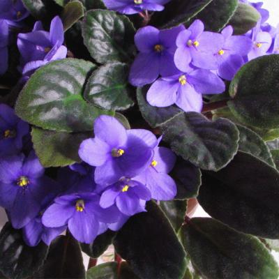 African Violets Online Course