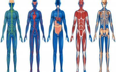 Anatomy & Physiology D (Cardiorespiratory Performance) Online Course