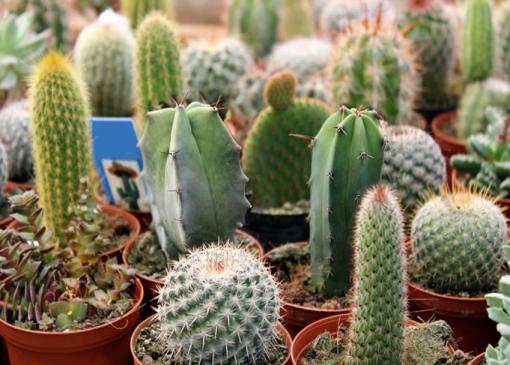 Cactus Garden in pots.