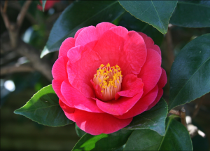 Growing Camellias Online Course