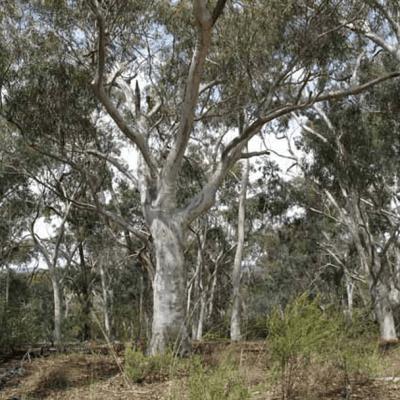 Australian Native Trees Online Course