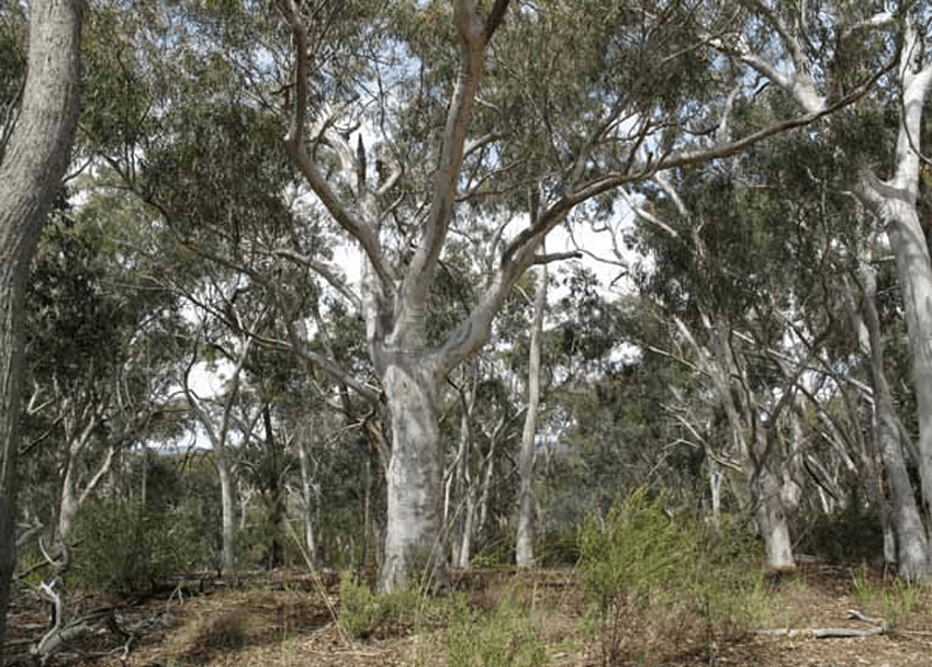Australian Native Trees Online Course Careerline Courses