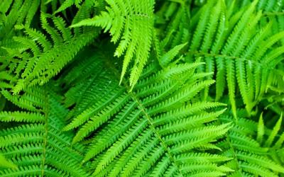 Australian Native Ferns Online Course