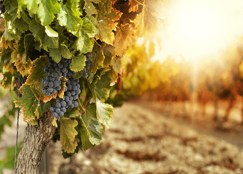 Viticulture Course Online