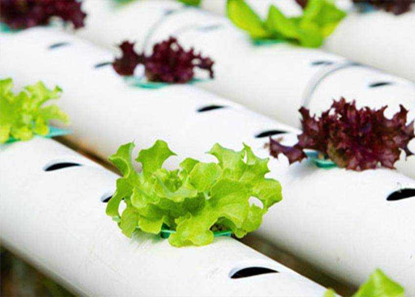 Hydroponic lettuce.