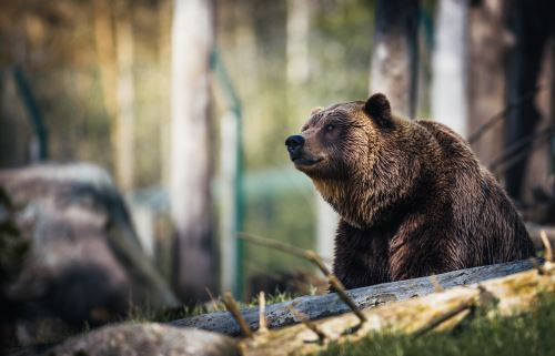 Study bears in this carnivore course.
