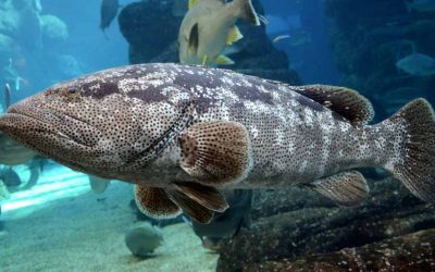 Grouper reproduction: A story of gender peculiarity in fish