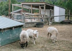 Choosing Sheep Breeds